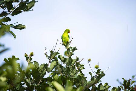 A vernal hanging parrot is perching on a brandh of rambutan tree.