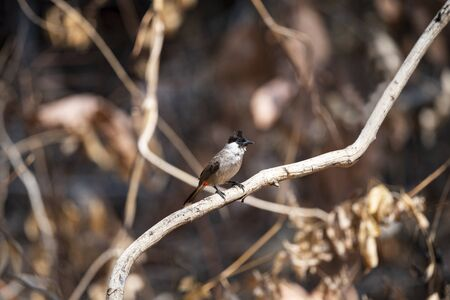 A sooty - headed bulbul with black head, short crest , brown upperparts , white rump and orange - red vent.