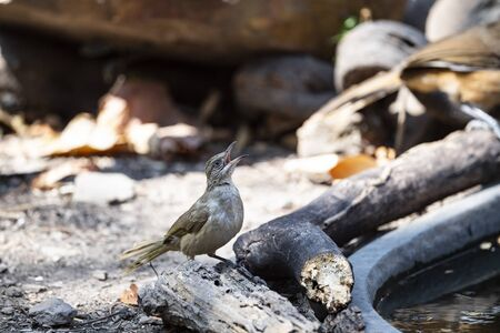 A streak - eared bulbul is perching and zipping water from a small well. Zdjęcie Seryjne