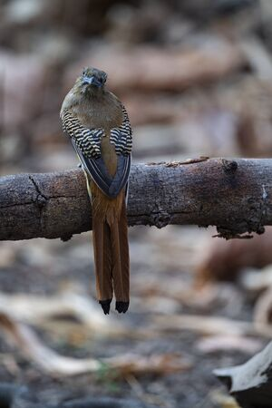 An orange - breasted trogon is perching on a tree branch and turning its head backward.