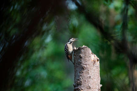 A freckle - breasted woodpecker is perching near the top of a dead tree.