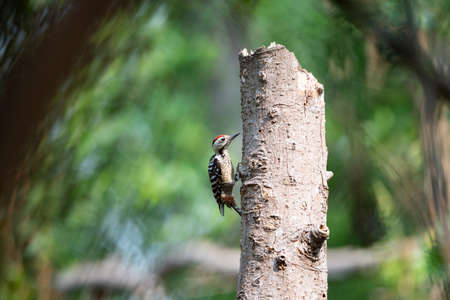 A freckle - breasted woodpecker is climbing on a big dead tree. 版權商用圖片