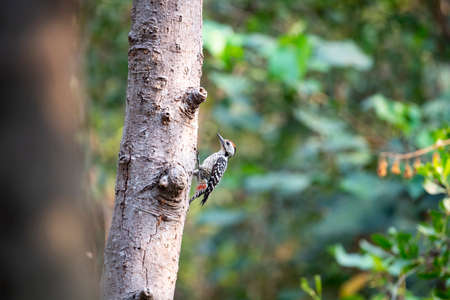A freckle - breasted woodpecker is perching on a surface of a tree trunk. 版權商用圖片