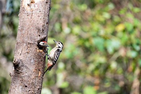A  pair of freckle - breasted woodpecker , one is resting in the hole and the one is climbing in front of their  nest hole.