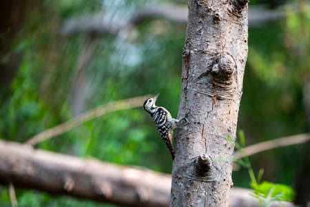 A freckle - breasted woodpecker is perching on a big tree trunk. 版權商用圖片 - 150692569