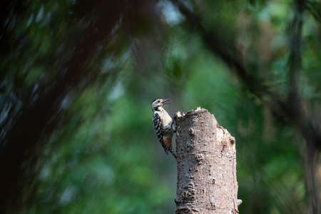 A freckle - breasted woodpecker is perching on a big tree trunk.