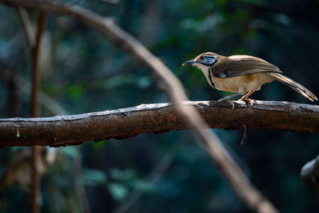 A greater necklaced laughingthrush is perching on a big tree branch. Banco de Imagens