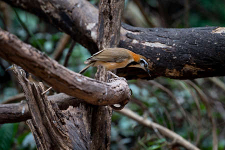 A lesser necklaced laughingthrush is standing and looking downward on a wood log.