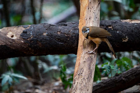 A lesser necklaced laughingthrush is perching on a dry wood log.