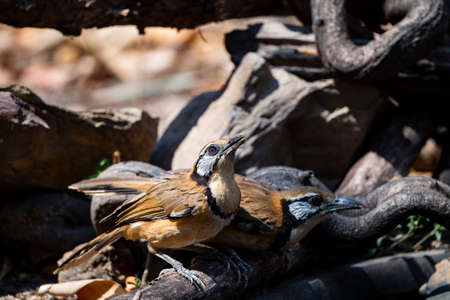 A greater necklaced laughingthrush is perching on a decayed log and having water.
