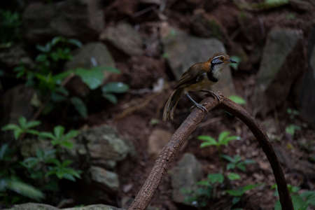 The large laughingthrush is perching on a big creeper.