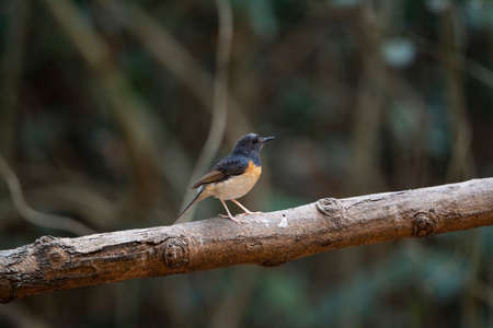 A female white - rumped shama with greyish - brown , black bill and pink feet.