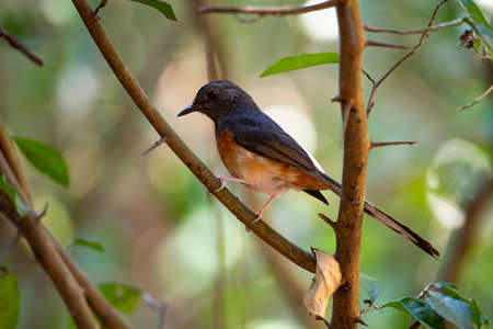 A female white - rumped shama is perching on a branch of a tree.