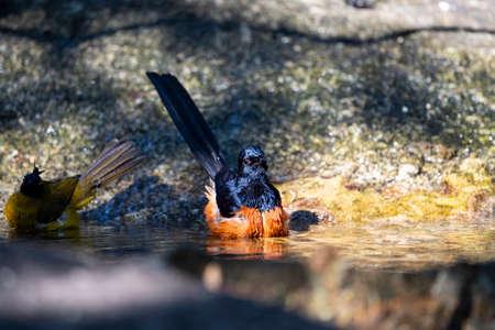 A male white - rumped shama is taking a bath in a natural basin. Archivio Fotografico