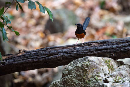 A male white - rumped shama is standing on a decayed piece of wood with its tail cocks upright.