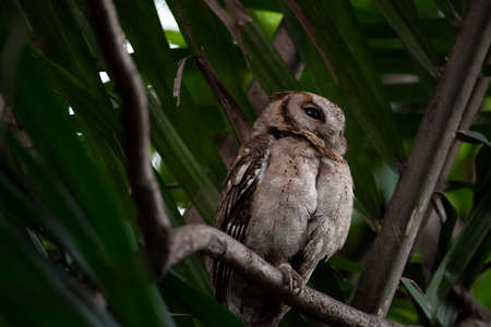 The largest of the scops owls with small head tufts , gray upperparts with spotting , white facial disc and brown eye.