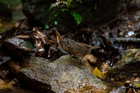 A wren - babbler with brown colour , gray - faced with rusty tings in the wings and scaly - headed appearance.