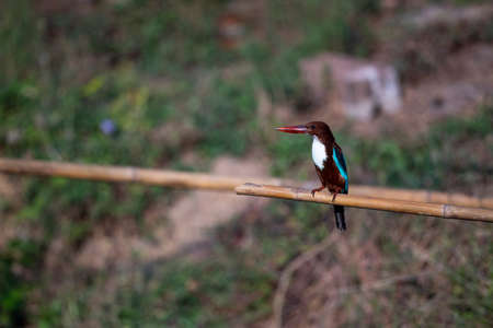 A kingfisher with various colors of body parts like bright blue head , chestnut head , whte throat and bright red bill and legs.