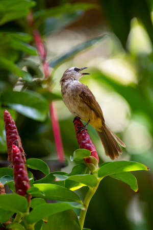 A yellow - vented bulbul is perching on a flower of Indian Head Jinger.