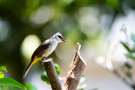 A yellow - vented bulbul is perching on a wood stump and making calls.