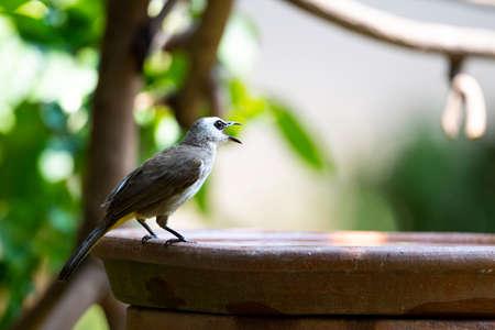 A yellow - vented bulbul is perching on a rim of water basin and making calls. 版權商用圖片