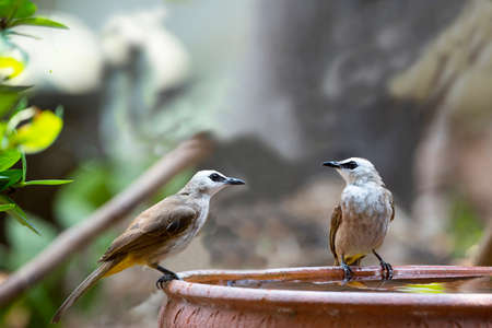A couple of yellow - vented bulbul is perching on a rim of water basin zipping water. 版權商用圖片