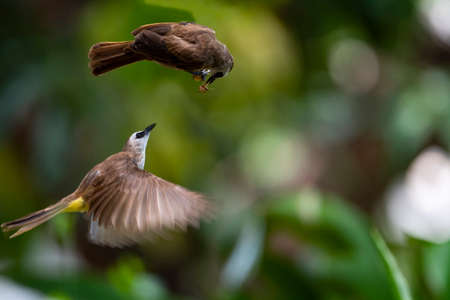 A yellow - vented bulbul is flying into the air trying to catch food fromm the other bulbul.