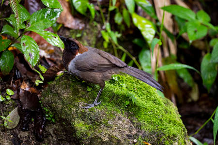 The laughingthrush with pale brownish - gray plumage , dark iris and bill , and a distinctive laughing calls. Banco de Imagens
