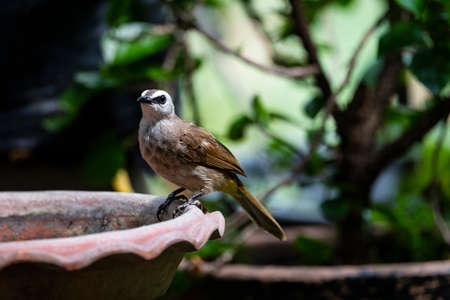 A yellow - vented bulbul is perching on a rim of water basin. 版權商用圖片
