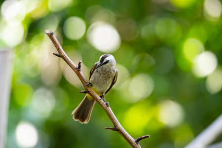 A yellow - vented bulbul is perching on a  bare tree branch. 版權商用圖片