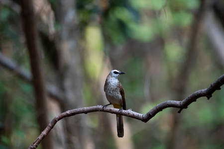 A yellow - vented bulbul is perching on a  curvilinear tree branch. 版權商用圖片