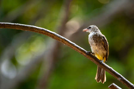 A yellow - vented bulbul is perching on a curved branch of a tree.