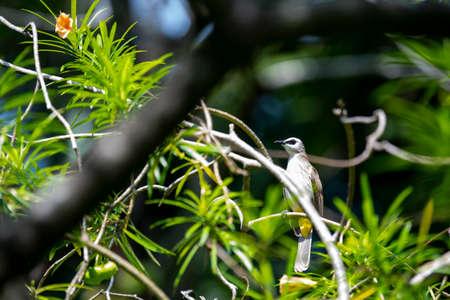 A yellow - vented bulbul is perching on a tree branch. 版權商用圖片