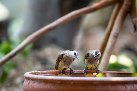 A couple of yellow - vented bulbul is perching on a rim of a water basin.