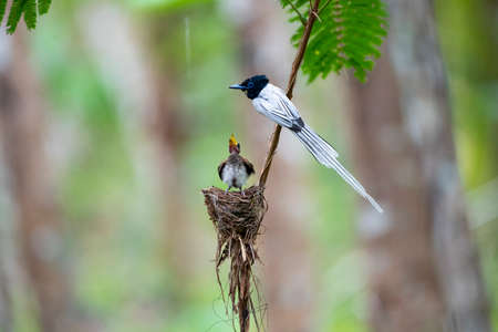 The white - plumgaed and long - tailed common flycatcher with relatively short legs and dark sharp streaks. 版權商用圖片