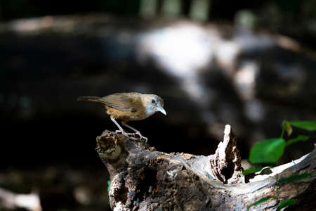 The sandy - brown babbler with whitish throat , greyish supercilium , red eyes and thick bills.