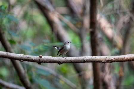 The small brownish flycatcher with black beak is perching on a tree branch.