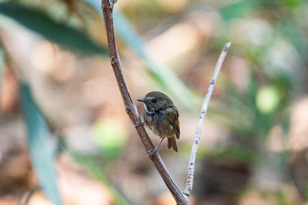 A brown flycatcher with grey head , white eyebrow , ruddy wings and tail ,and triangular white patch surrounded by black border.