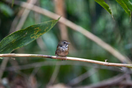 A brown flycatcher with grey head , white eyebrow , ruddy wings and tail ,and triangular white patch surrounded by black border. Stock Photo
