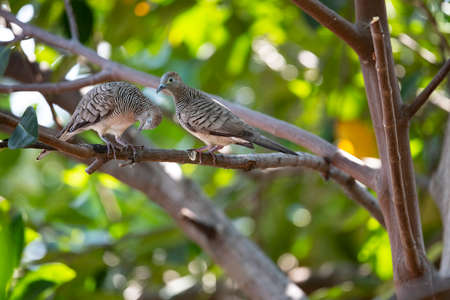 A couple of zebra dove is standing together and flirting on a tree branch. Zdjęcie Seryjne