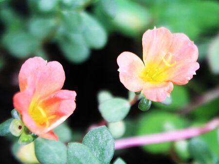berros: Flores de berro Foto de archivo