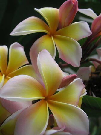 thom: Lan Thom flower Stock Photo