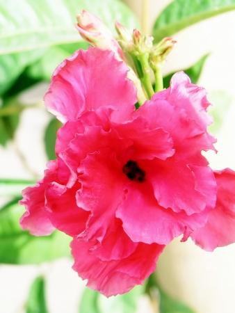 berros: Berro flores