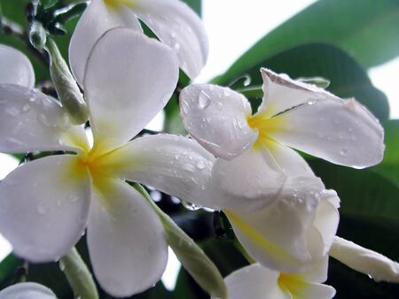 Plumeria  Lan Thom flower Stock Photo - 14438120