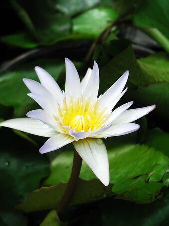 nelumbo: Lotus Nelumbo White Lotus