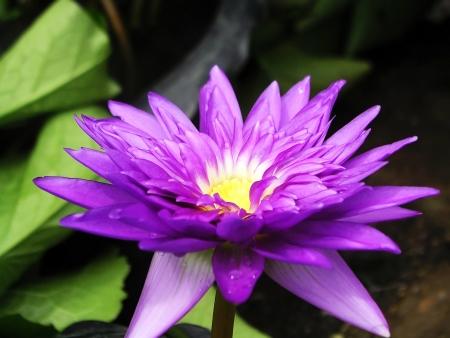 nelumbo: Lotus Nelumbo purple