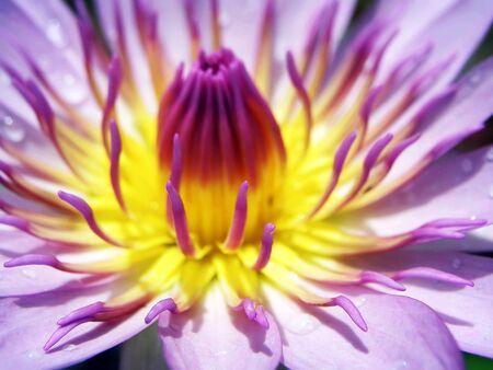 nelumbo: Lotus Nelumbo Stock Photo