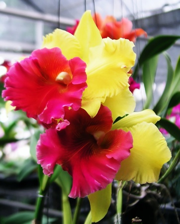 Yellow - red Orchid Cattleya