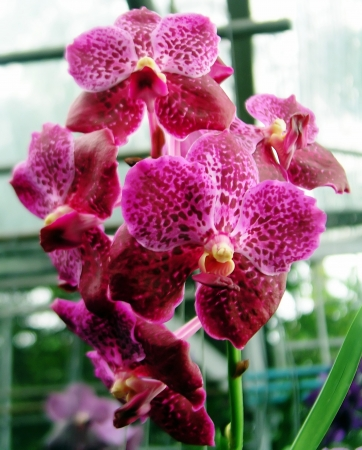 Orchids Vanda Pink with brown photo