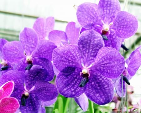 vanda: Orchids Vanda Stock Photo